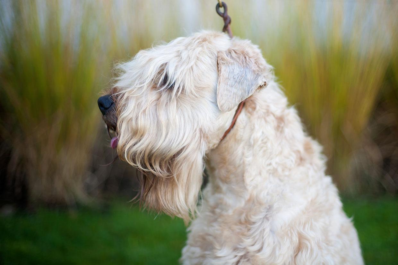 Irish Soft Coated Wheaten Terrier, Wheaten Adventurer