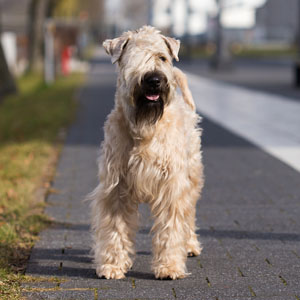 Irish Soft Coated Wheaten Terrier, Wheaten Adventurer,
