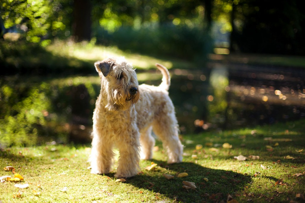 Irish Soft Coated Wheaten Terrier, Wheaten Adventurer, Blanchfleur Wheaten vom Hof Höltring