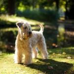 Irish Soft Coated Wheaten Terrier, Wheaten Adventurer, Blanchfleur Wheaten vom Hof Höltring