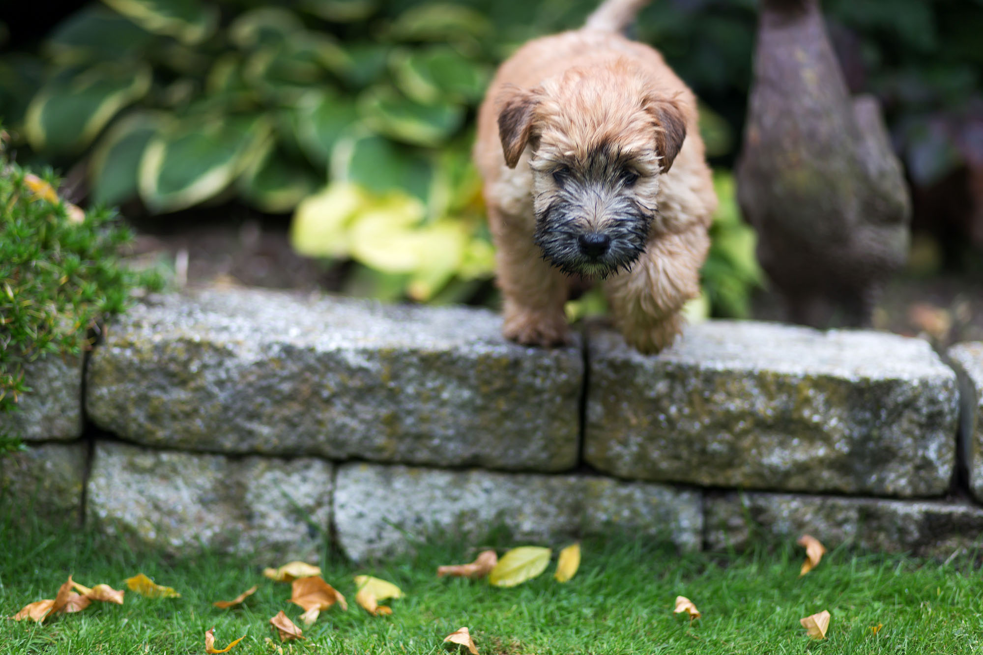 Irish Soft Coated Wheaten Terrier, Wheaten Adventurer, Wheaten my Love Flower Power