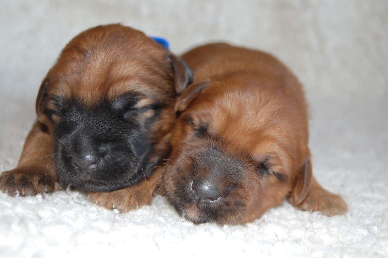 Irish Soft Coated Wheaten Terrier, Wheaten Adventurer, Welpen, Wurf D